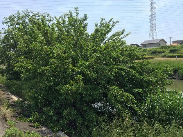 矢田川の河川敷に生えている木。