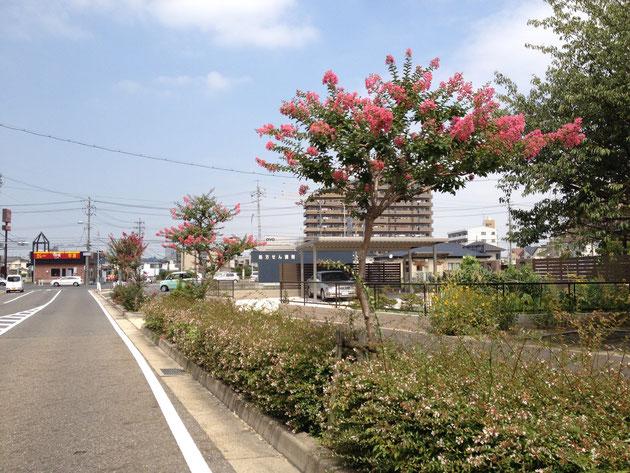 街路樹に植えられたサルスベリ 鮮やかな花が連続している
