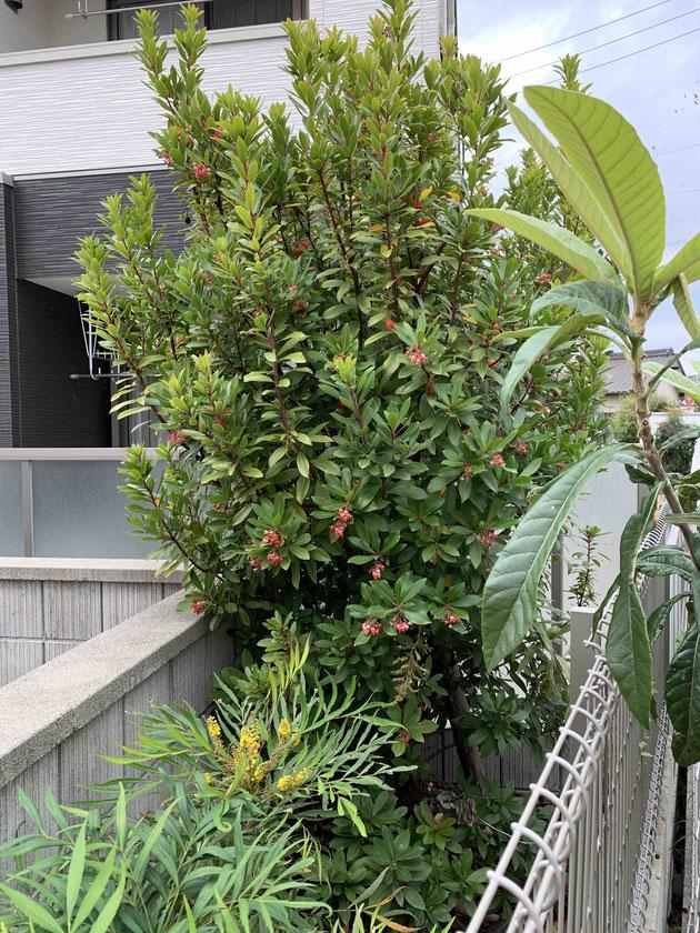 すごく立派なイチゴの木。実と花が同時に楽しめる?