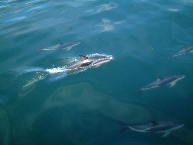 ホエールウオッチングの最中 イルカも沢山寄ってくる