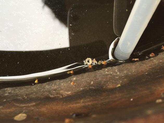 睡蓮鉢の周りにくっついているボウフラの抜け殻。