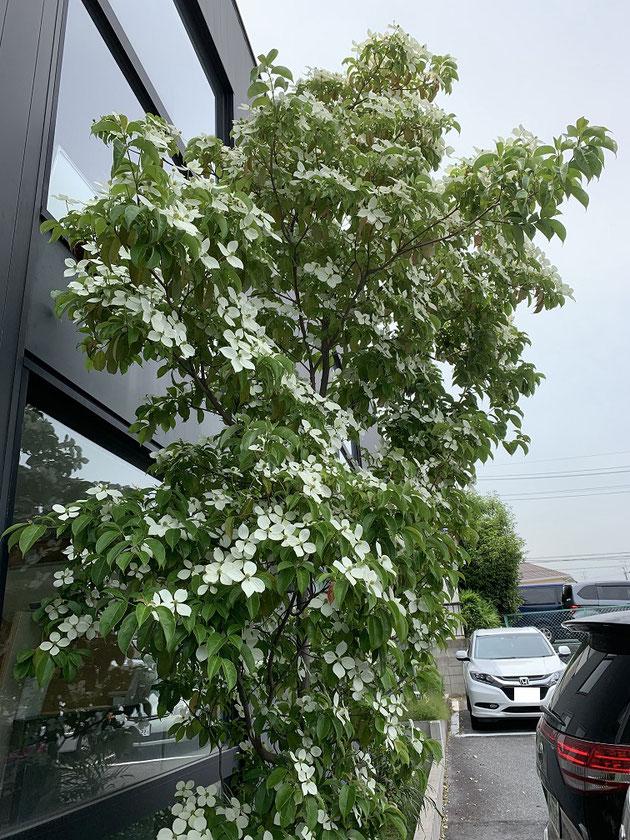 3mほどのトキワヤマボウシ。梅雨の季節に美しい花を咲かせてくれます。