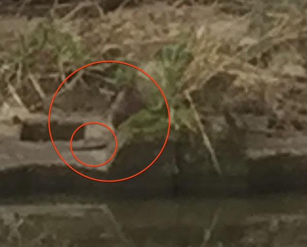 川から河川敷に上陸した謎のほ乳類!こんなの守山区に居るの?中の小さいマルがしっぽです。