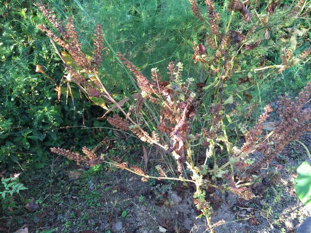 こちらは花の部分が古くなり干からびたシソ。こうなると実が収穫しやすい。