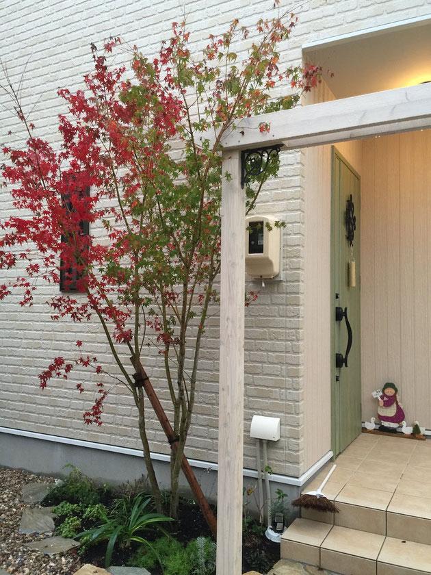 After  シンボルツリーのイロハモミジが赤く色づいてきています。
