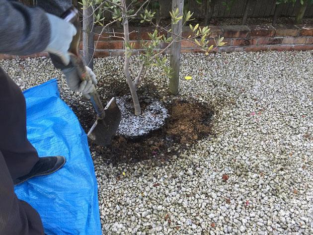 オリーブの鉢の周りを掘って行きます。