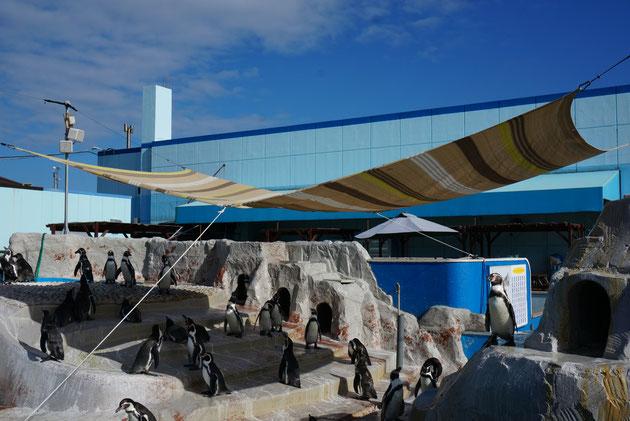 南知多ビーチランドのペンギン達。多くのペンギンが日陰で休んでいる。