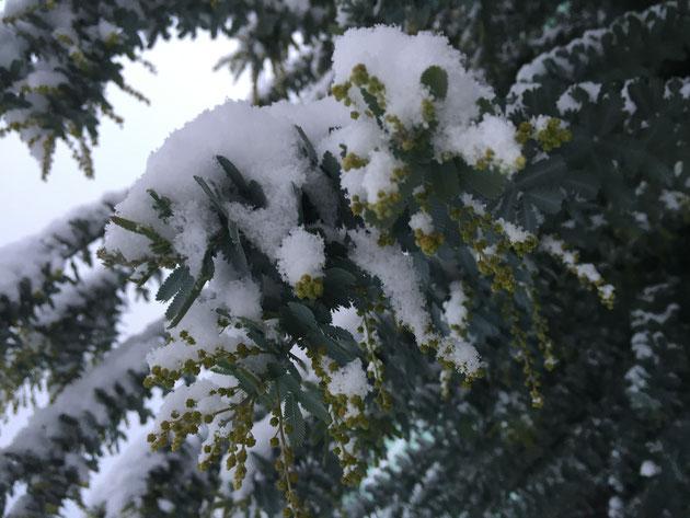今年は早く花芽が膨らんできたミモザもこの雪で元に戻るでしょうか?