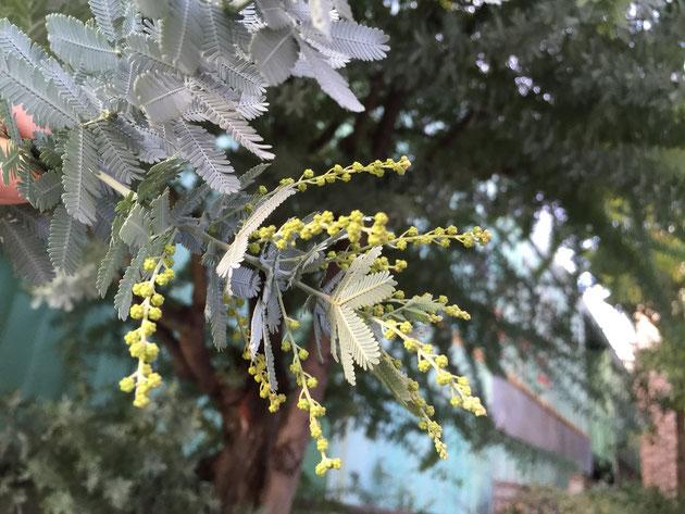 ミモザの花芽が確実に大きくなってきている。2月中に咲いてしまうのか!?
