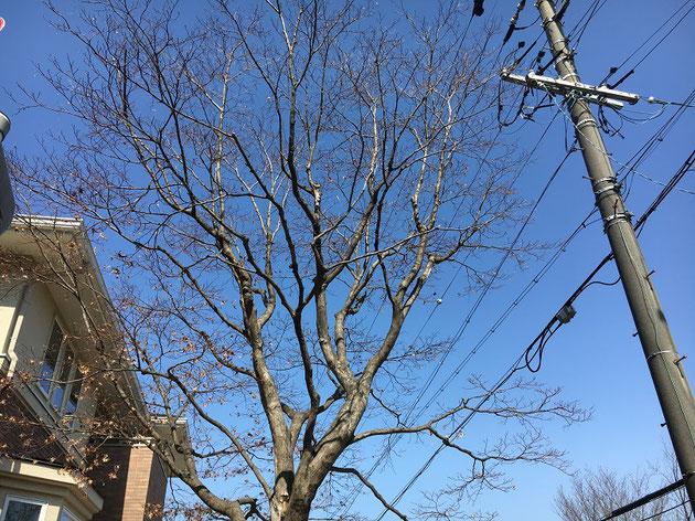 大きなモミジの木。電線に掛かりそうで危ない!!