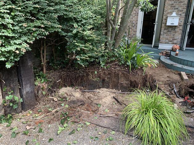 シマトネリコの根が防根シートを突き破ったり上から伸びてきたり・・・