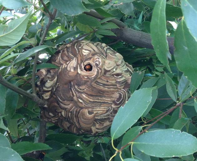 こちらは以前お伝えしたスズメバチの巣。これはつぼ型とは明らかに違う。
