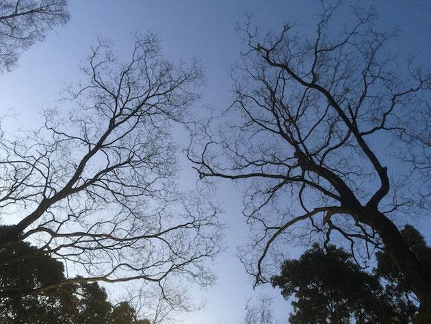 朝焼けの中、公園の木々達が美しい。雲一つない・・・寒いな・・・