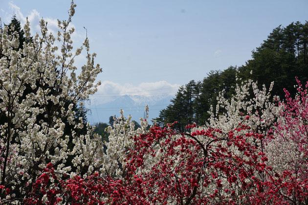 ハナモモの向こうに駒ケ岳が見える。長野っていいところだなあ。