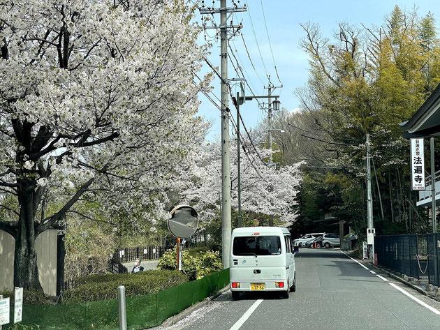 2021年3月29日の尾張旭市城山公園のソメイヨシノ。ほぼ満開でしょうか。
