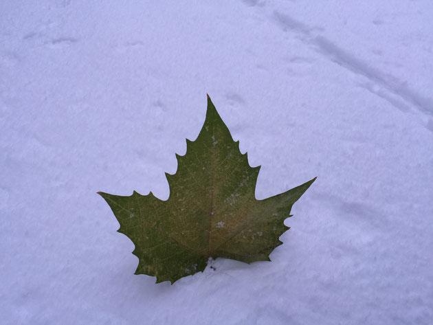 ひらひらまって雪に刺さったカエデの葉。暖冬の影響か、まだこれだけ緑いろ。