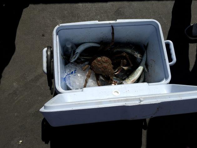 魚もしっかり釣れる サバとスパイダークラブという蟹