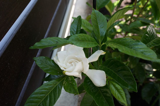 クチナシの白い花が咲くと物凄く良い香りがする。