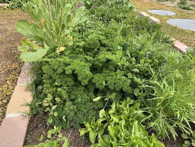 水菜やパセリが森のようになっています!