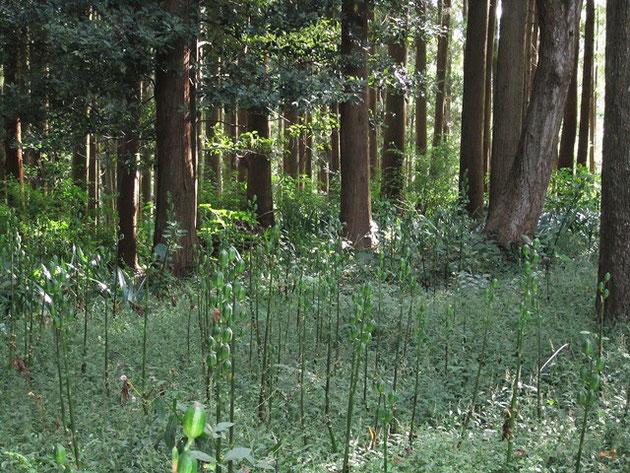 木漏れ日の中で植物群発見!「これなあに?」「ウバユリですよ!」植物に詳しい方と偶然ご一緒できるとNWも楽しみが増えます♡♡♡