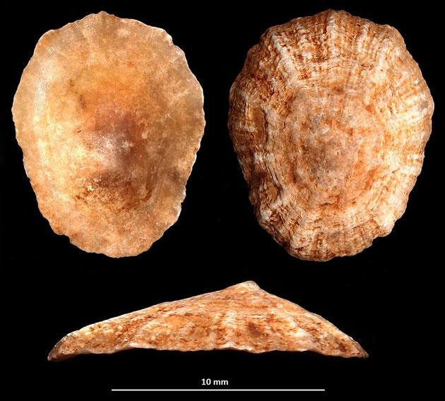 Patella caerulea, Macchia della Turchina (Monteromano, VT)