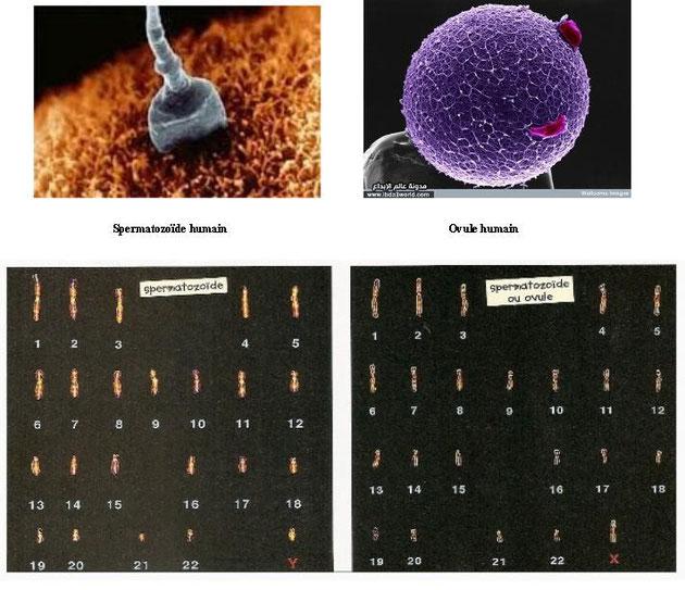 Cellules reproductrices de l'Homme et leur caryotype.Cliquer sur l'image pour l'agrandir.