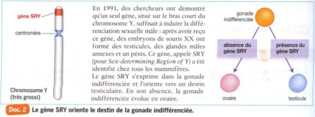 Rôle du gène SRY dans la détermination du sexe. Source: Bordas 2011 SVT 1ère L-ES, p170.Cliquer pour agrandir.