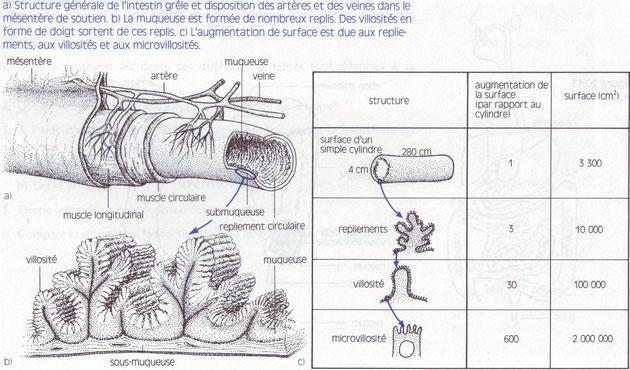 Schéma des différents repliements de l'intestin qui augmentent sa surface. Cliquer pour agrandir
