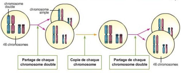 Les étapes de la multiplication cellulaire et le transfert de chromosomes aux cellules-filles.