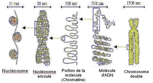 """Détail des constituants d'un chromosome. Un """"nm"""" correspond aux nanomètre."""