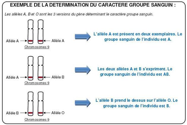 Déterminisme du caractère groupe sanguin. Source: