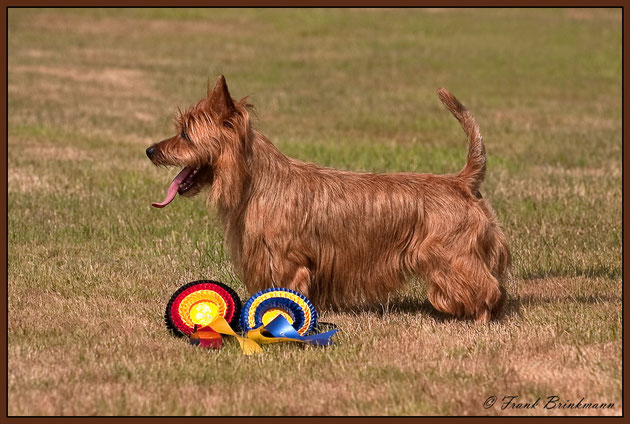 Australian Terrier Rüde Ch. Outbacks Barrenjoey