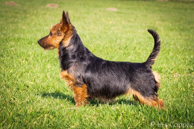 Australian Terrier von den Grauen Anfurten - Sureprime's Pixie