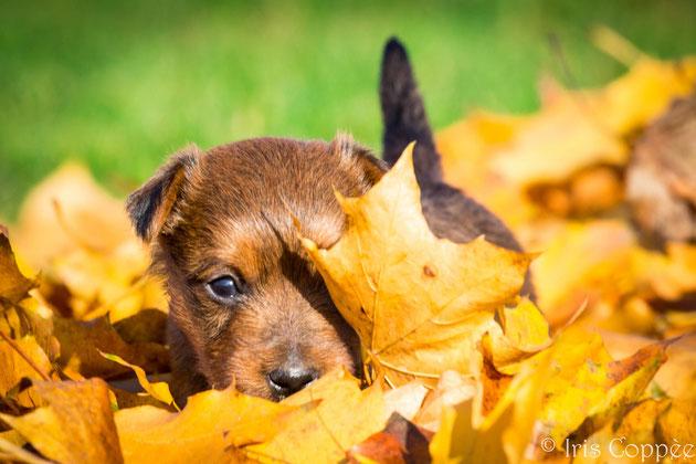Australian Terrier von den Grauen Anfurten - Rohan von den Grauen Anfurten
