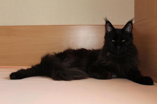 Олдблюз Балу - кот кастрат