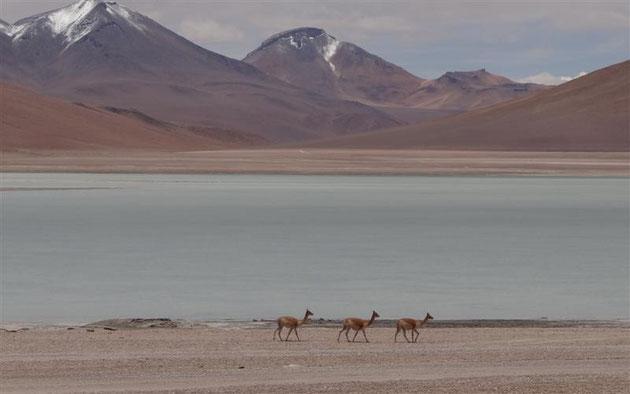 diese Höhe ist der natürliche Lebensraum der zierlichen Vicunas, denen es unter 4.000 m zu warm wird