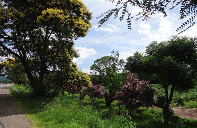 auf einmal blühende Landschaften mit riesigen Mimosenbäumen, Mandeln und dahinter Tabak