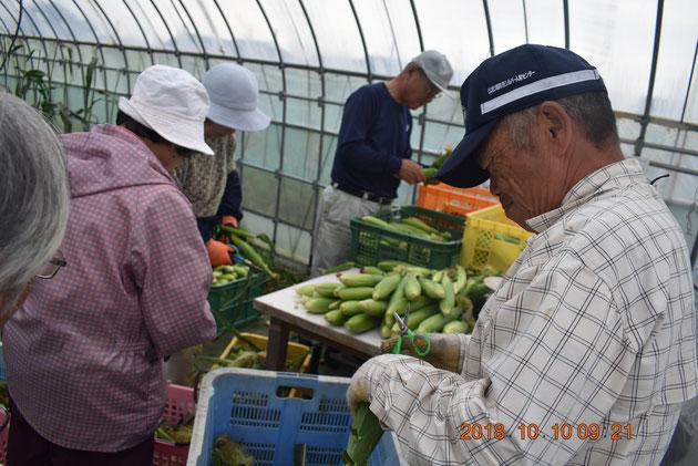 収穫したトウモロコシは、ヒゲや土を落として綺麗な状態にして出荷します。