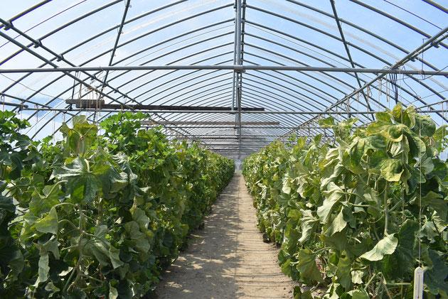 収穫まであと数日・・・。このハウスの中には400個近くのネットメロンがあります。品種はアールス、ヴェルタ、ミラノの3種。