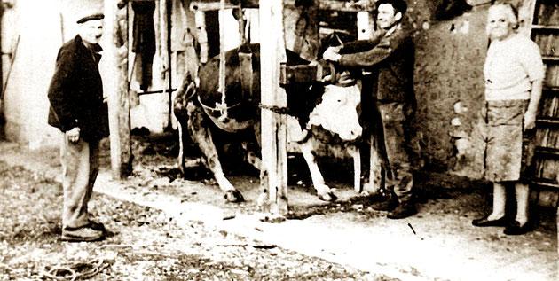 Contention d'une vache à Sainte Blaizine (Thézillieu)