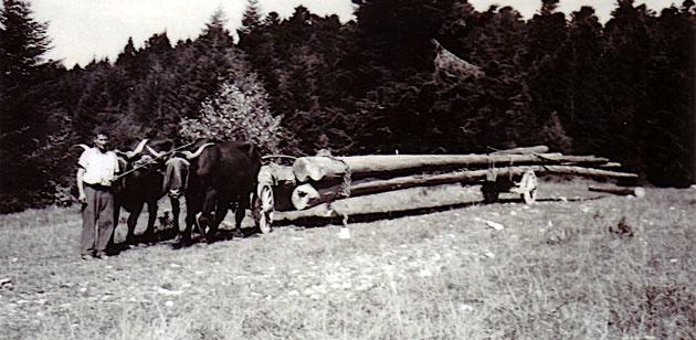 Débardage avec les boeufs dans la forêt de Cuvillat