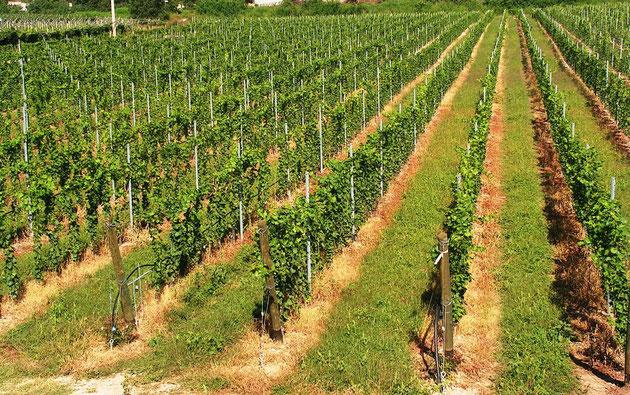 Pali per vigneti e frutteti accessori per vigneto for Irrigazione vigneto