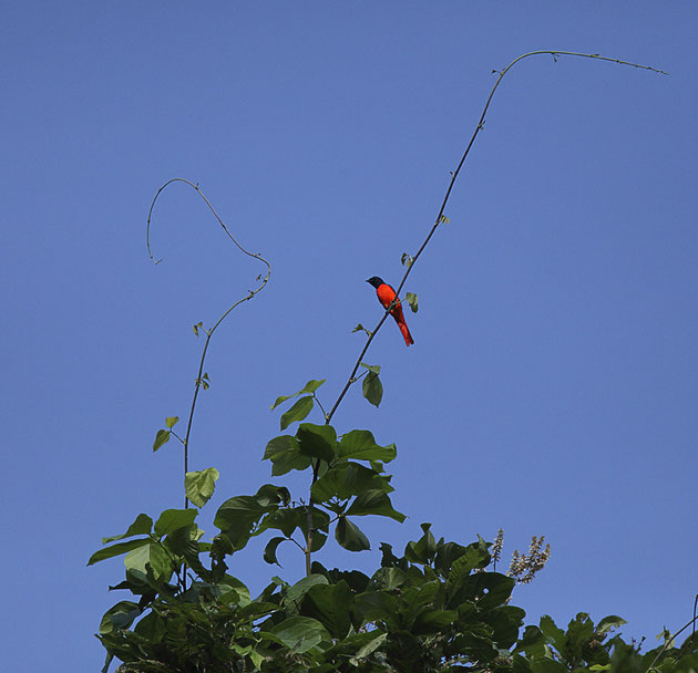 MG2066 • Minivet Rouge (Pericrocotus  ethologus) Népal