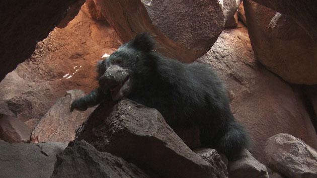 Lippenbär entspannt auf einem Felsen in einer Höhle