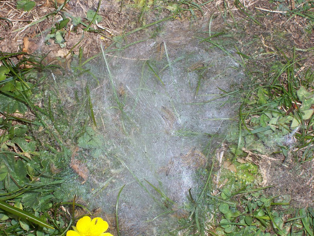 Raupengespinst einer Malacosoma-Art am Boden