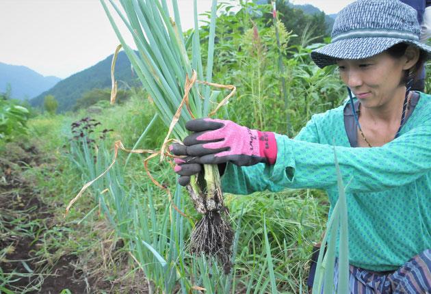 九条ネギ 株ネギ 在来種 固定種 自然栽培 農業体験 体験農場