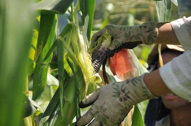 自然栽培のモチトウモロコシの収穫。