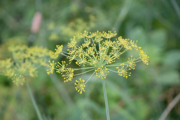 ディルの花。キュウリのピクルスには欠かせません
