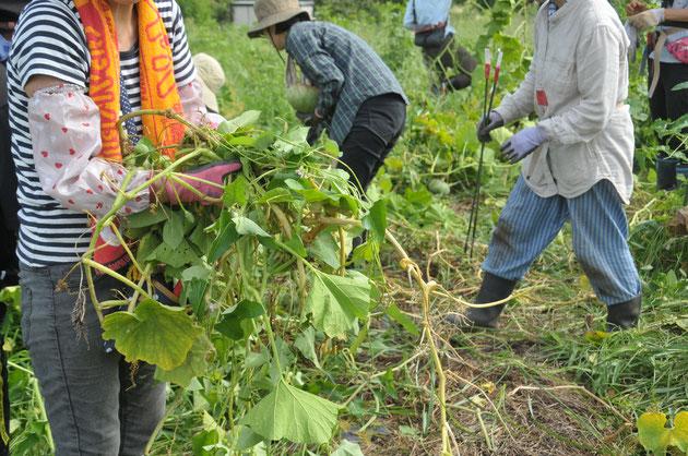 カボチャ 自然栽培 農業体験 野菜作り教室 さとやま農学校