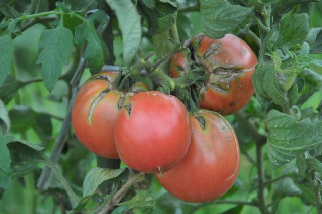 固定種 トマト 世界一 自然栽培 農業体験